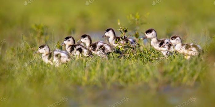 Row of cute Shelduck ducklings running in a row