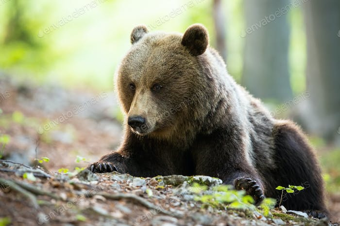 Massive brown bear lying on the ground with rocks, roots and leafs in forest