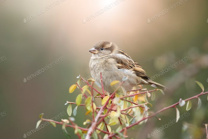 Little house sparrow sitting on branch in autumn nature