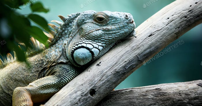 Green iguana standing on a branch