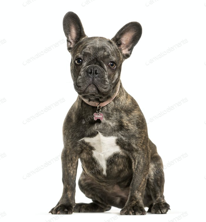 Sitting French bulldog dog, cut out