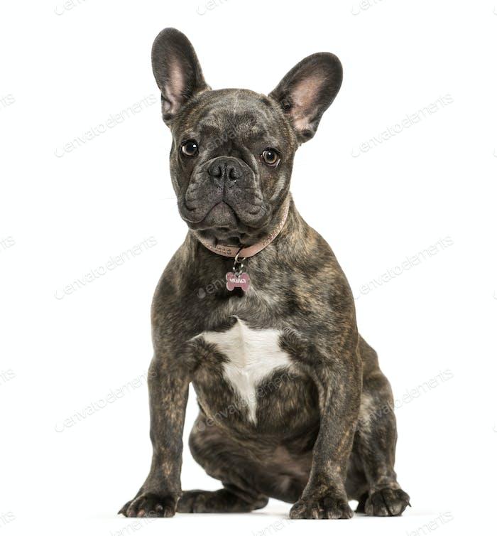 Sitting French bulldog dog, cut out