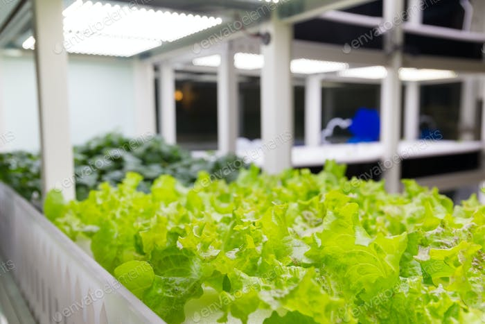 Lettuce plants on hydroponic culture