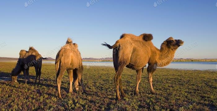 Kamele Scenic Nature Animals Reisekonzept