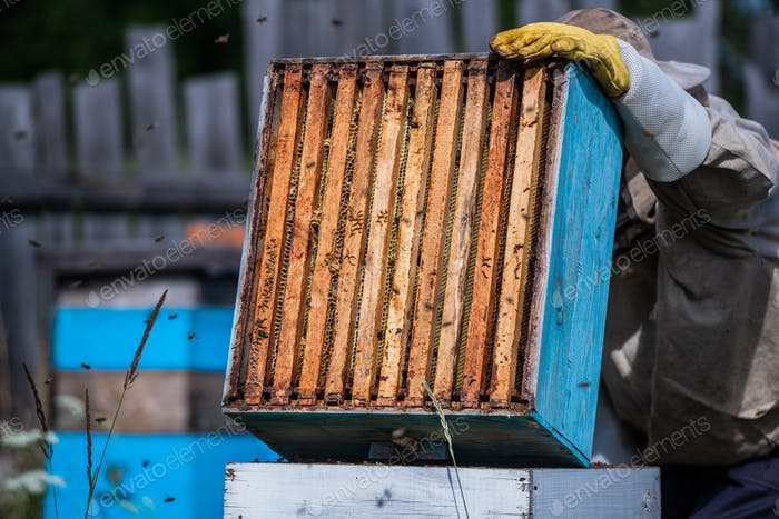 Close up view of the opened hive showing frames populated by honey bees. Honey bees crawl in an open