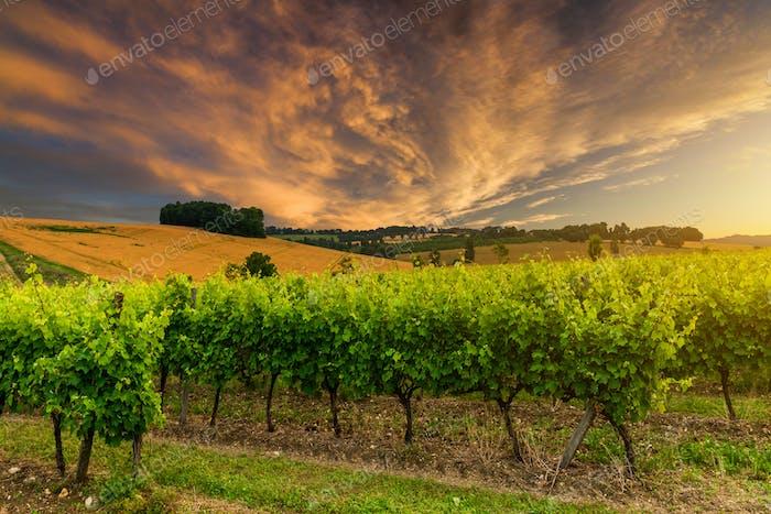 Beautiful vineyard at sunset. Travel around France, Bordeaux