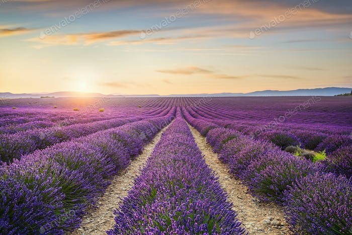 Lavender flowers fields at sunset. Provence, France