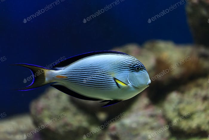 hippo blue tang