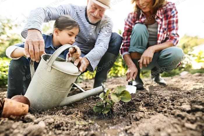 Seniorenpaar mit Enkelin Gartenarbeit im Garten.