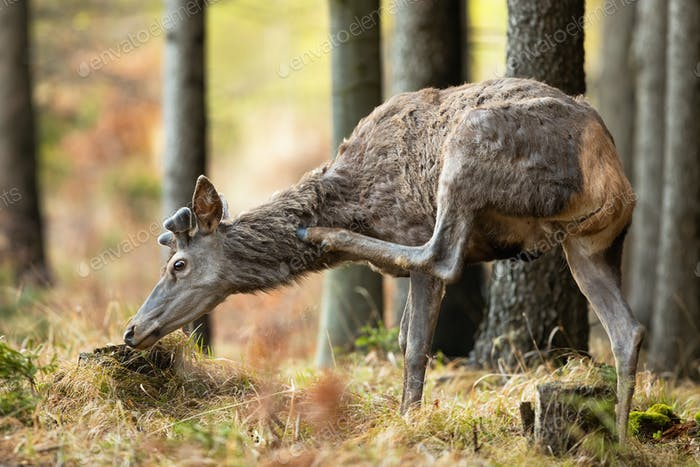 Red deer scratching on neck with hoof in woodland in spring nature