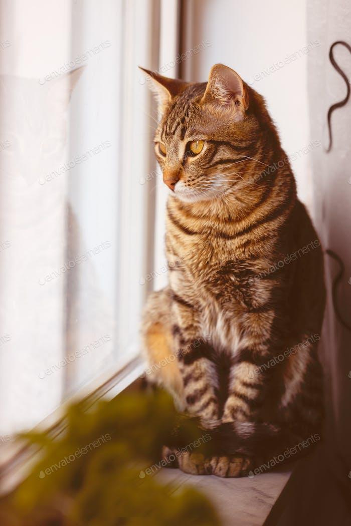 Little Bengal cat