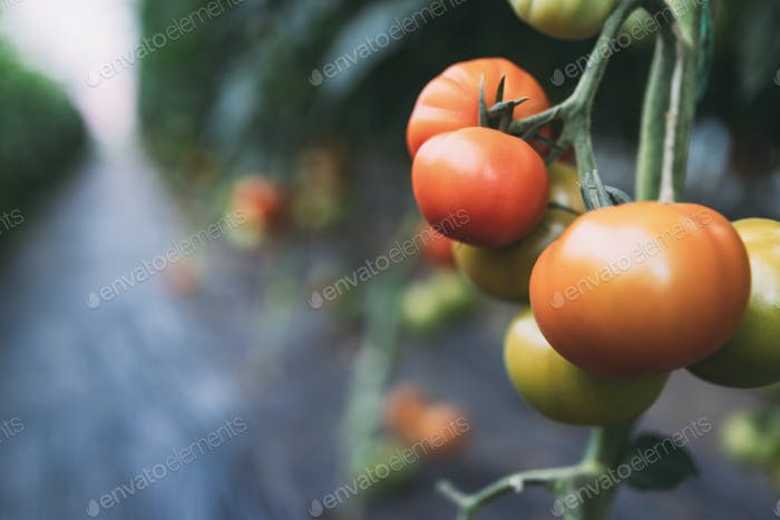 Beautiful red organic healthy tomatoes grown in a farm
