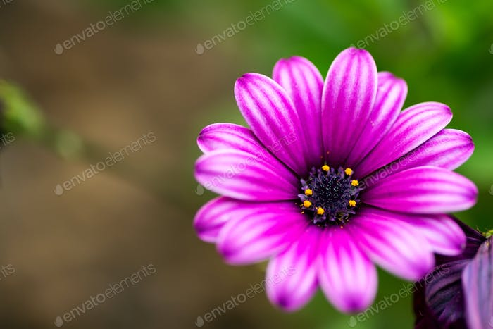 Feative card with fresh tender African daisies flower against a blurred natural background