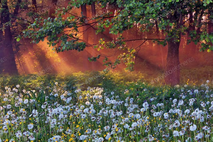 Dandelions in the woods lit the rising sun