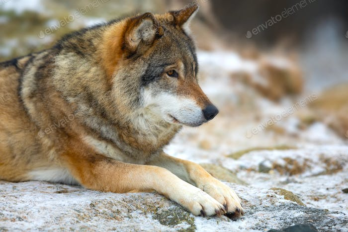 Beautiful wolf rests in the forest in early winter
