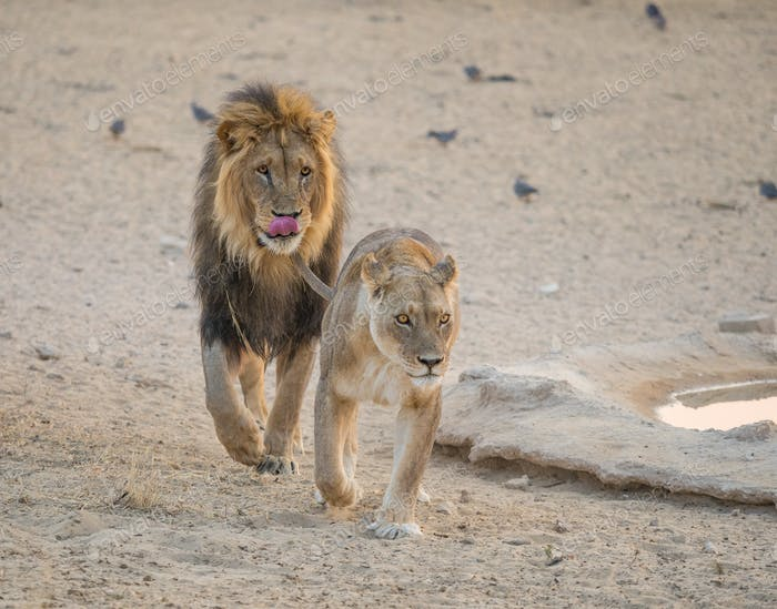 Courting Lions