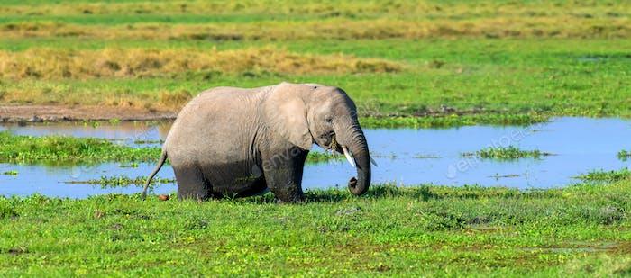 Elephant in water. National park of Kenya