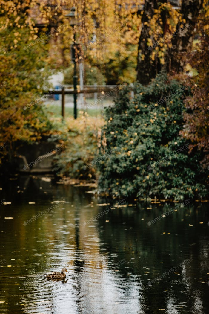 Park in autumn colors with pond and ducks swimming in