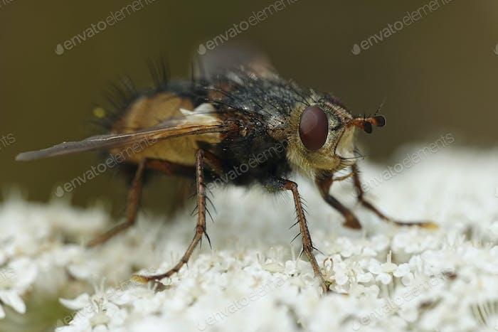 Tachina Fera Fliege