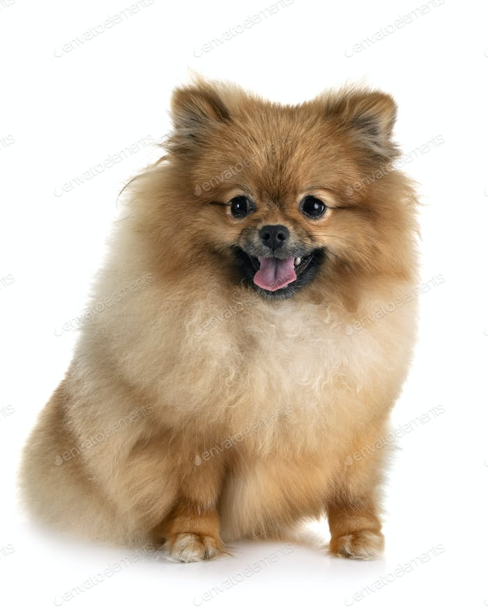 puppy pomeranian in studio
