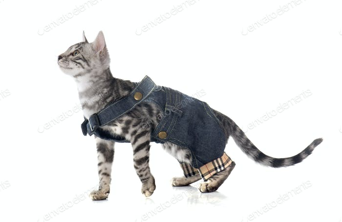 dressed bengal kitten