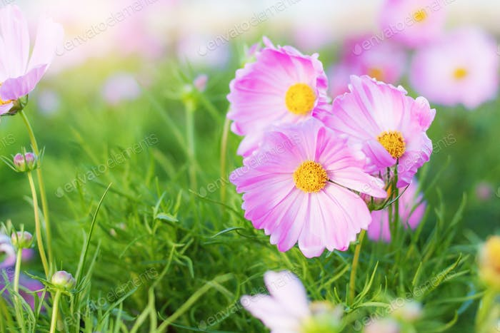 Pink cosmos in the winter