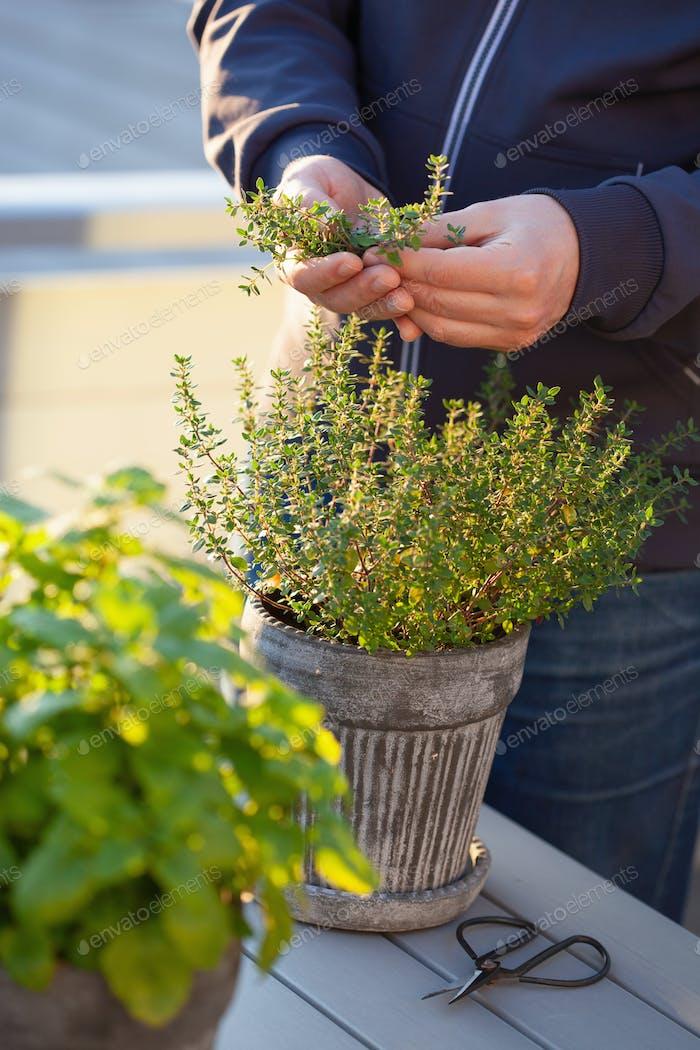 Gärtner pflücken Thymian Blätter auf Balkon