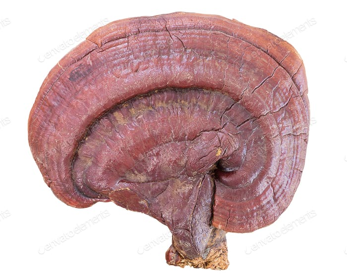 Ganoderma Lucidum Mushroom on white background-2