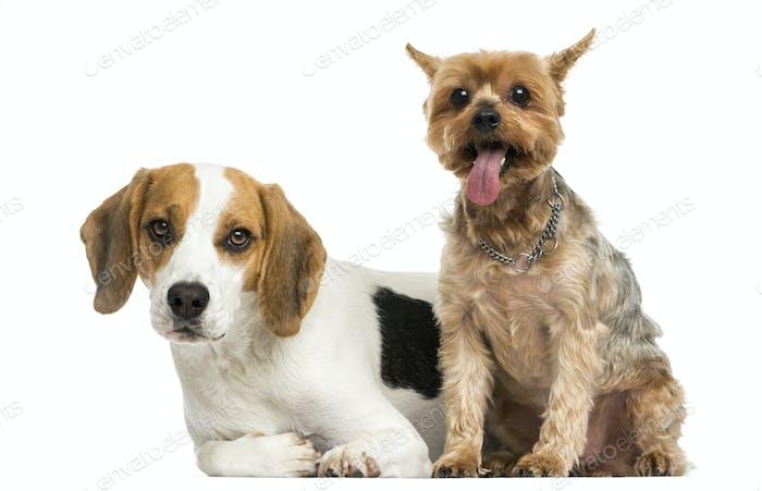 Yorkshire Terrier und Beagle Welpen nebeneinander, isoliert auf weiß