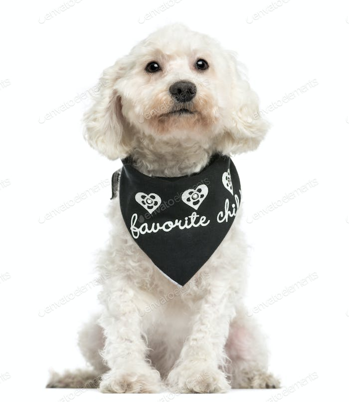 Front view of a Poodle wearing a bandana, sitting, 8 years old, isolated on white