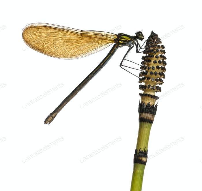 Close-up of a Beautiful Demoiselle female on top of a plant, Calopteryx virgo, isolated on white