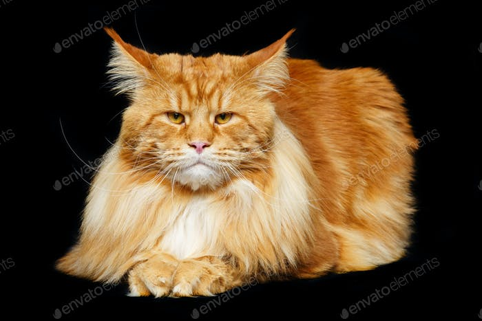 Thumbnail for Beautiful maine coon cat