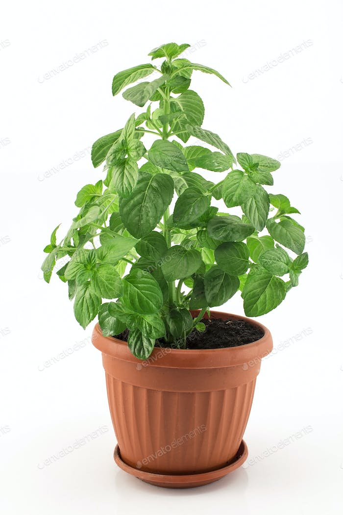 Mint  Potted on a White Background