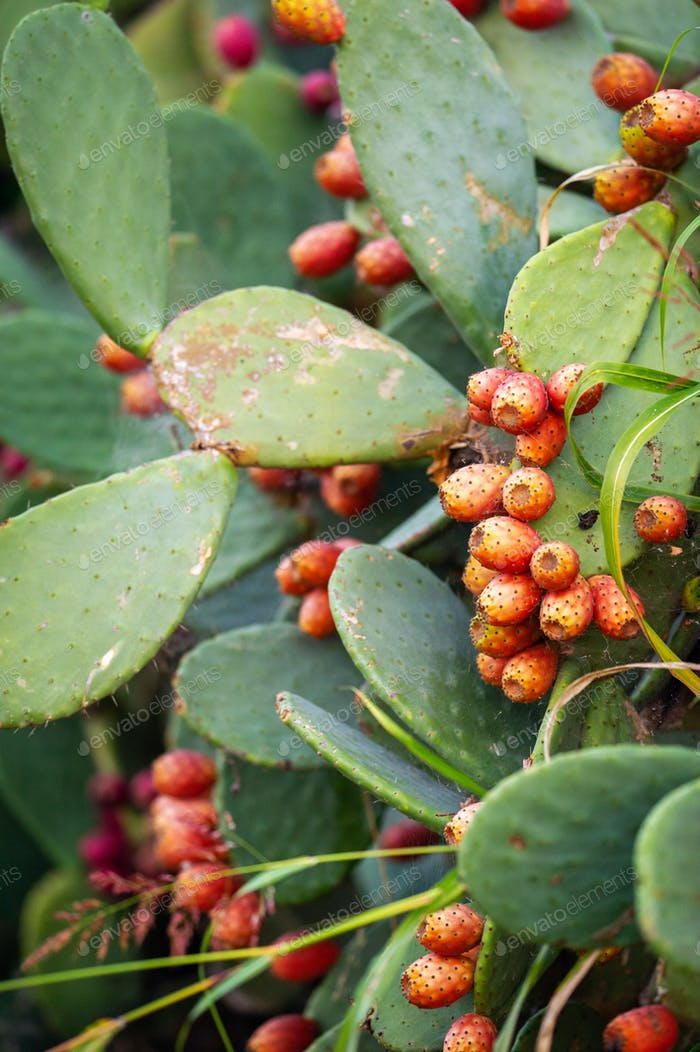 Red Prickly Pear cactus fruit in Italy