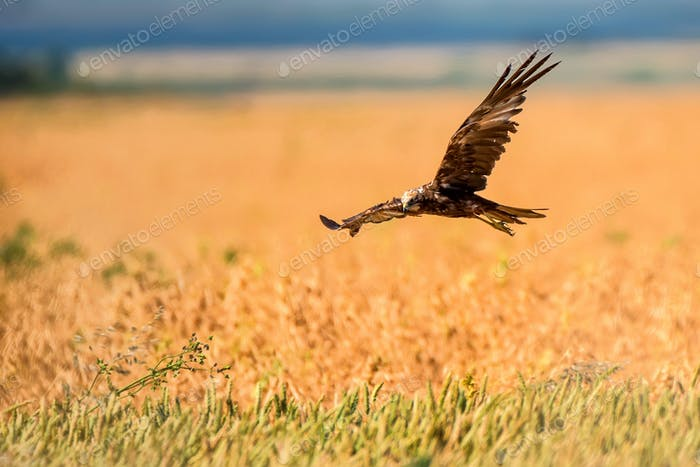 Western marsh harrier or Circus aeruginosus