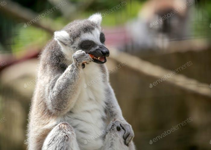 Ring tailed lemur eating carrot