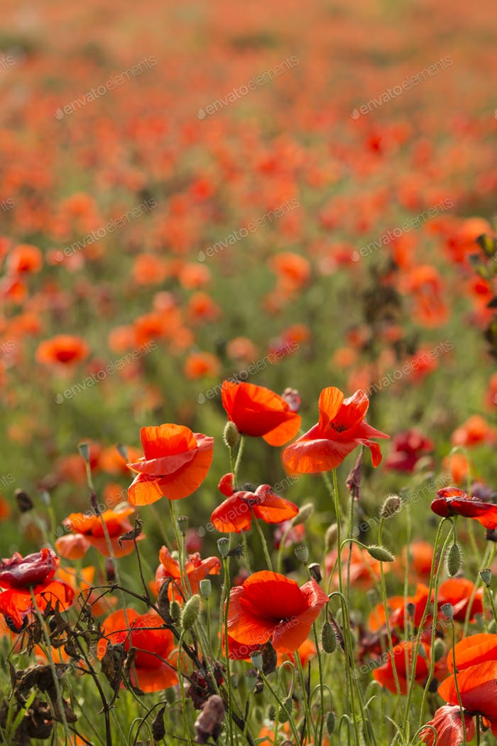 Field of red poppy flowers under the sun.