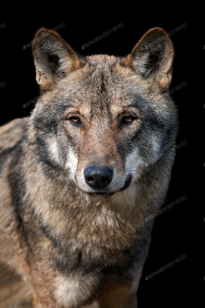 Nahaufnahme Porträt eines grauen Wolf (Canis Lupus)