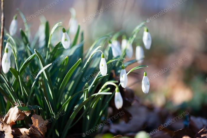 Frühlingsblume Schneeglöckchen ist die erste Blume am Ende des Winters und am Anfang des Frühlings.