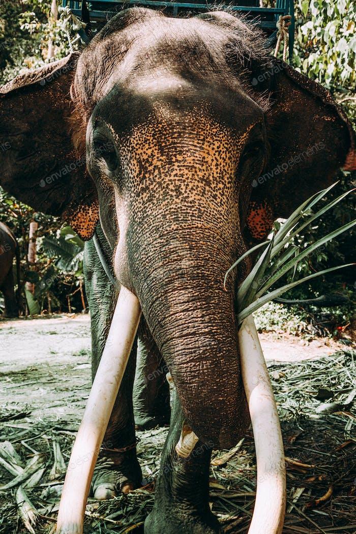 Closeup elephant in Asian jungle.