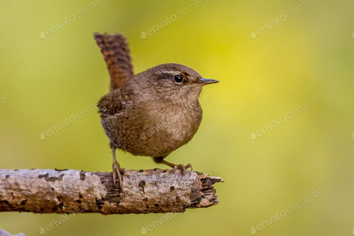 Eurasian wren on branch with green background