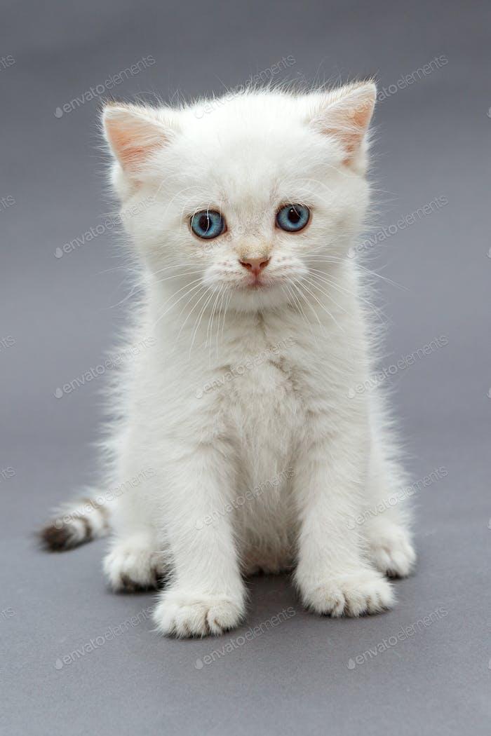 White British kitten with blue eyes