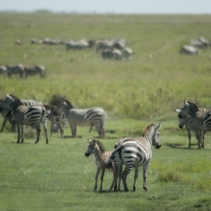 herd of zebra in the Serengeti