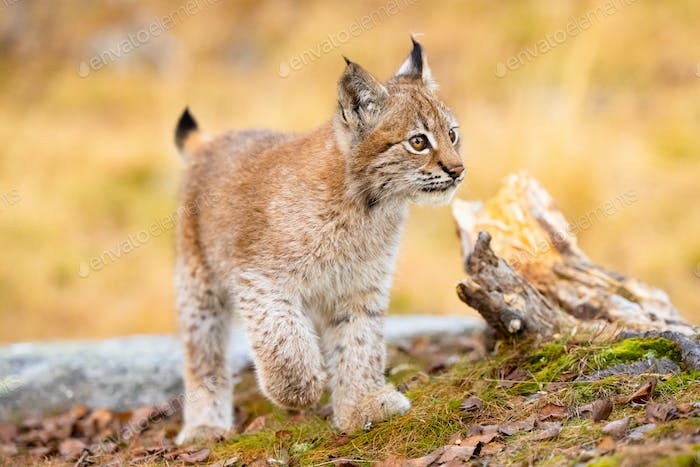 Close-up of a beautiful eurasian lynx cub walking in the forest