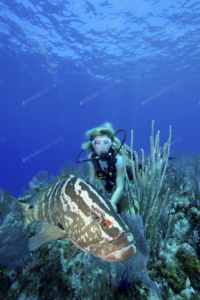 Diver and Nassau grouper (Epinephelus striatus), Bloody Bay, Little Cayman,Diver and Nassau grouper