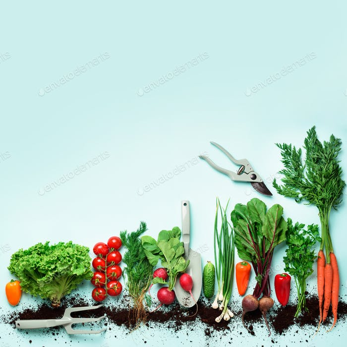 Organic vegetables and garden tools on blue background with copy space. Square crop. Top view of
