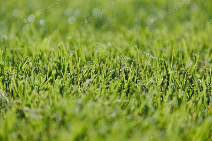 Freshly cut green grass, a dense carpet of grass blades, lying in one direction, after mowing.