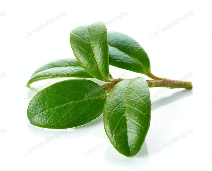 fresh green lingonberry leaves