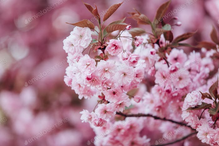 Branches of cherry blossoms. Beautiful Sakura in the garden