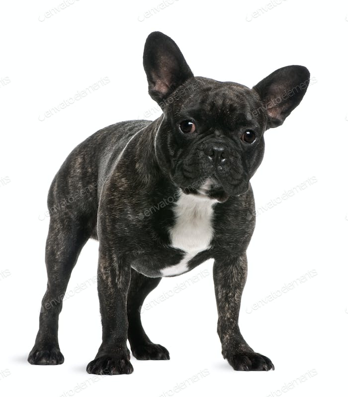 French Bulldog, 18 months old, standing in front of white background